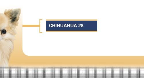 Chihuahua-28-Adult