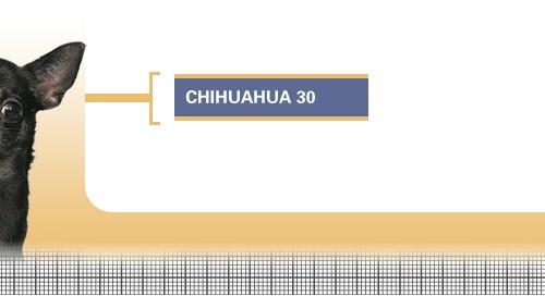 Chihuahua-30-Junior