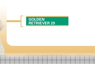 Golden-Retriever-29-Junior