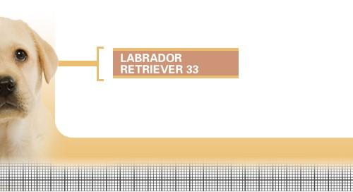 Labrador-Retriever-33-Junior