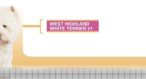 West-Highland-White-Terrier-21
