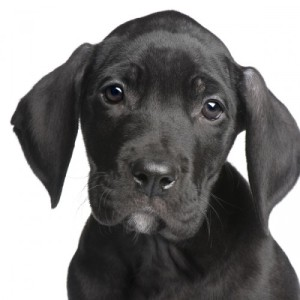 PuppyGreatDanemonths-large