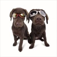 dog goggle